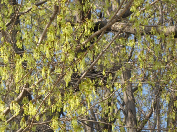 Sugar maple, April