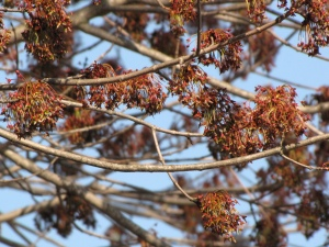 Red maple, April