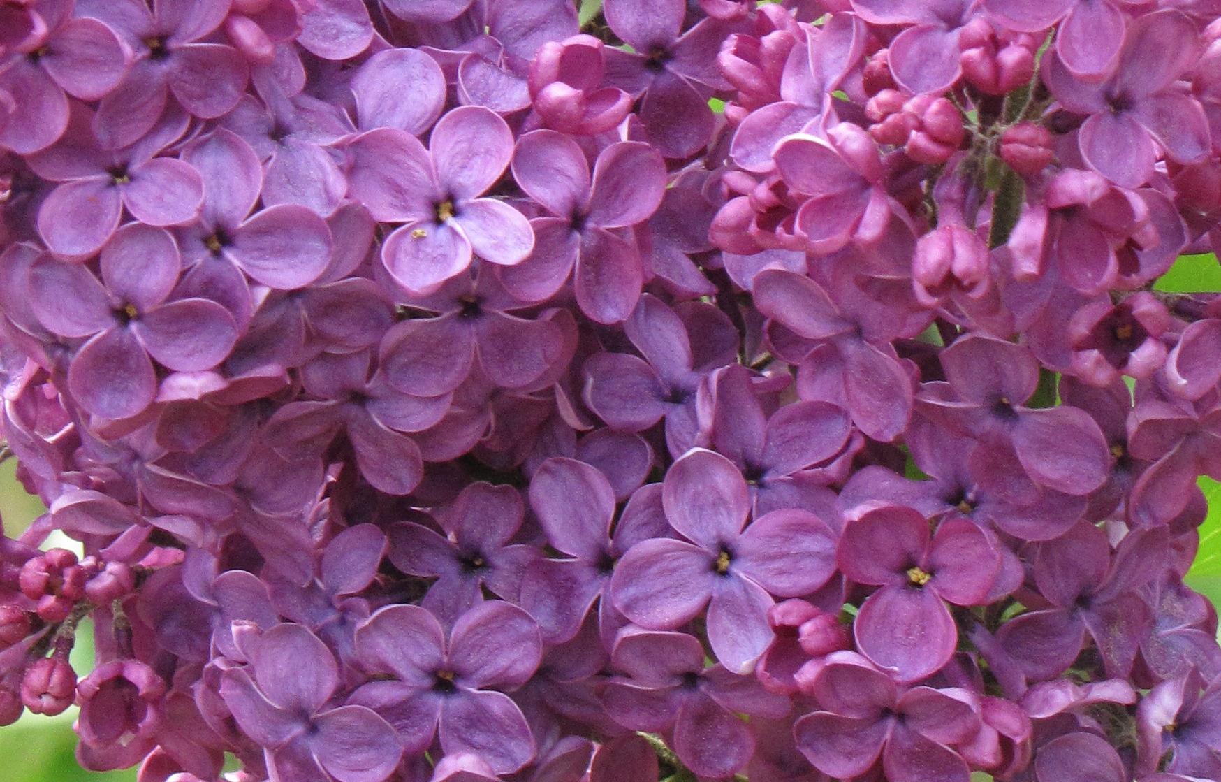 Purple Lilac (Syringa)