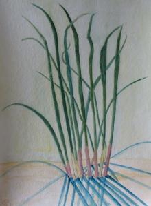 "Dune Grass, watercolor, 11""x15"""