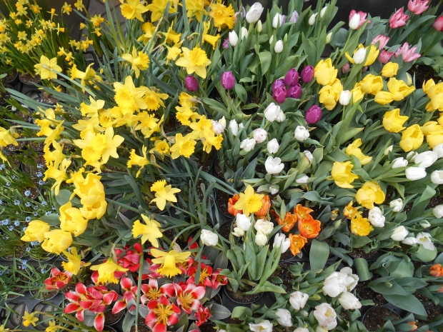 Daffodils and tulips (Bar Lois Weeks)