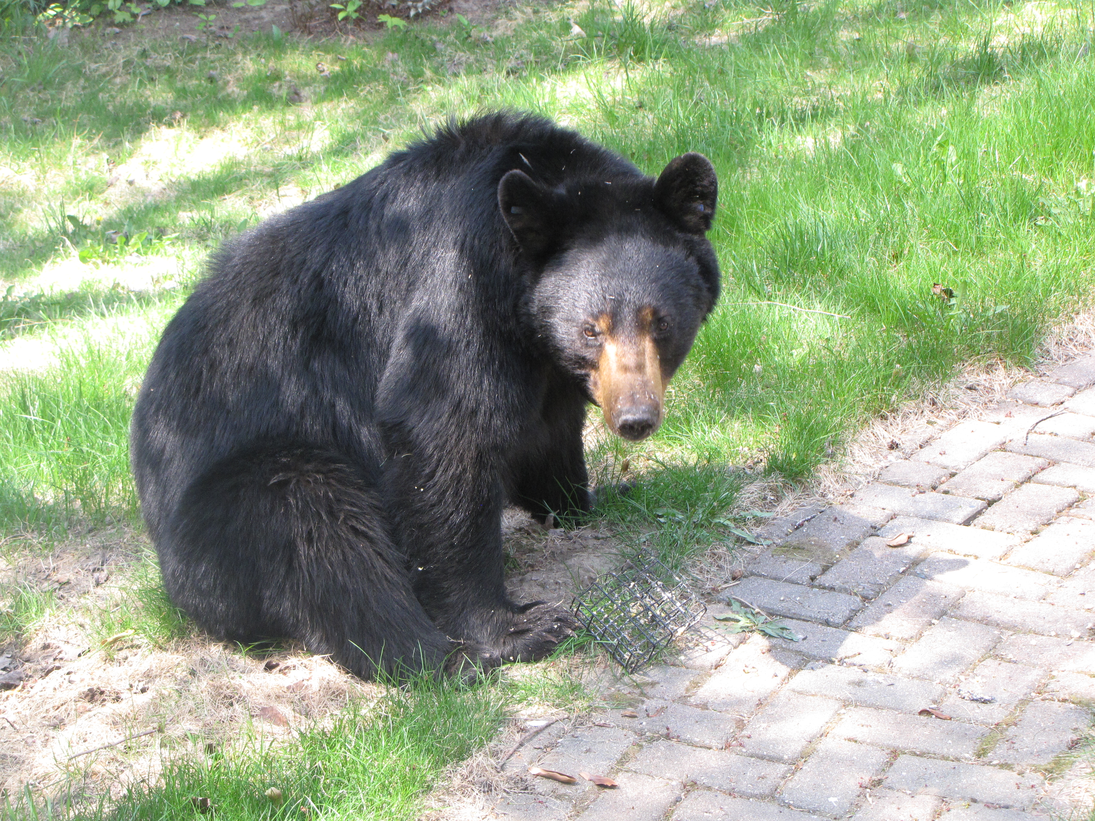 Female black bear (Russell Steven Powell photo)