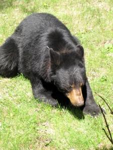 Female black bear (Russell Steven Powell photo)