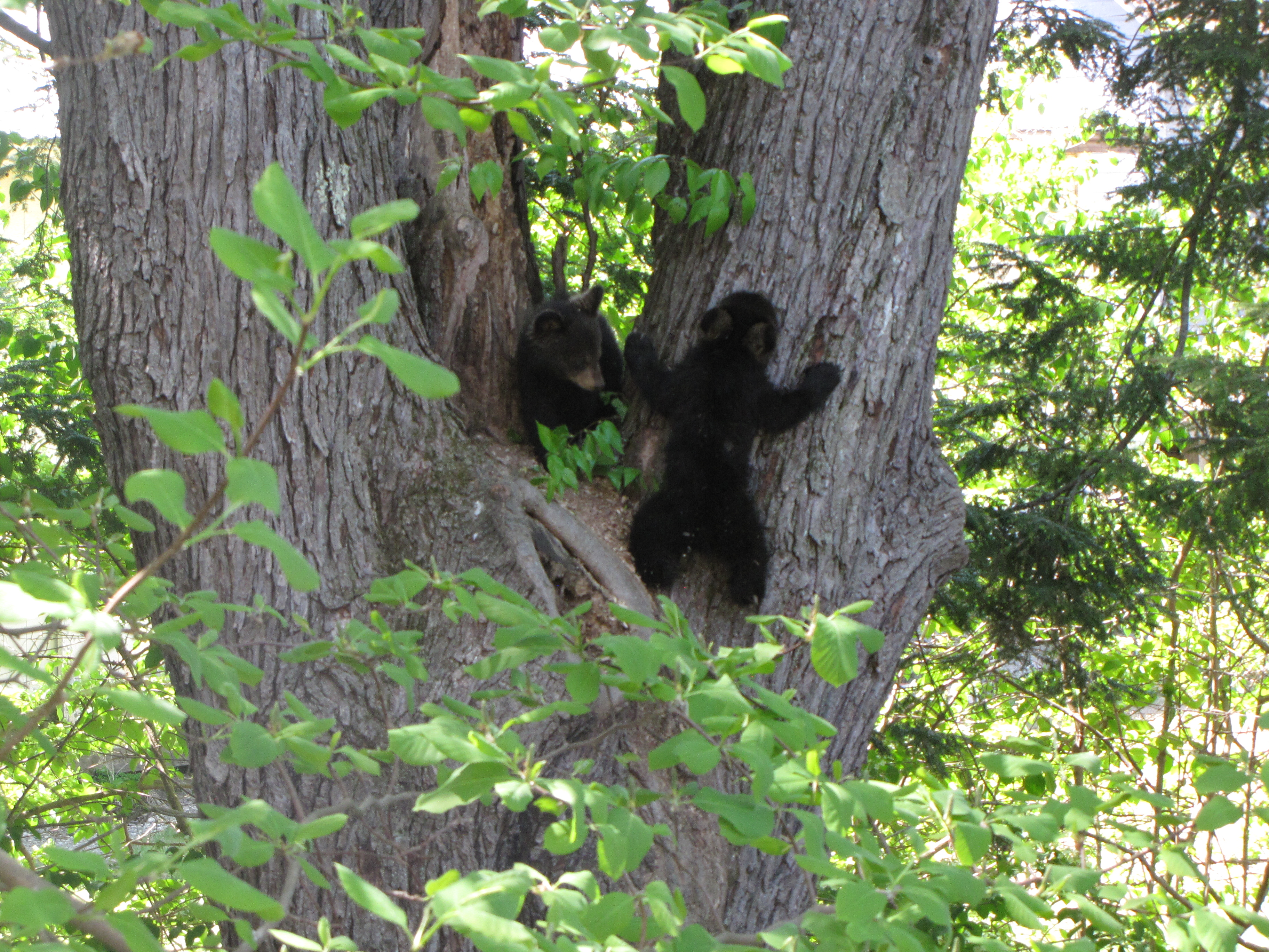 Black bear cubs (Russell Steven Powell photo)